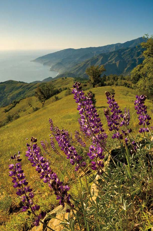 Lupines with Santa Lucias behind
