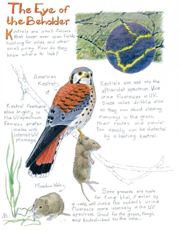 Kestrel and Voles