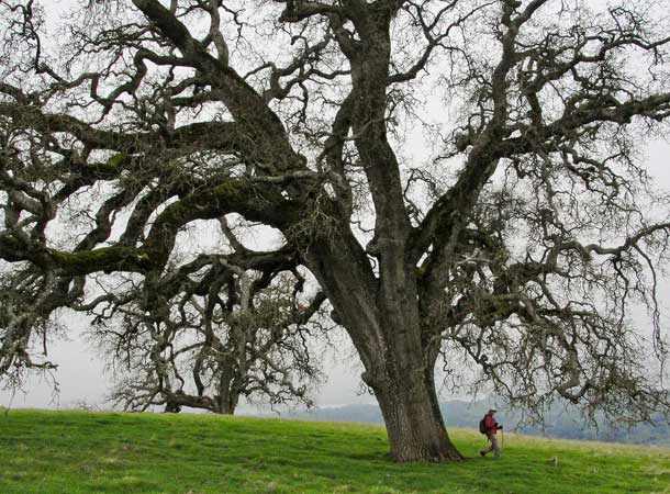 Oak tree and hiker
