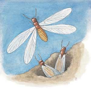 Termite illustration