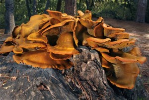The bright orange fruiting bodies of the toxic jack-o-lantern mushroom glow green on dark nights. Photo by Ron Wolf.