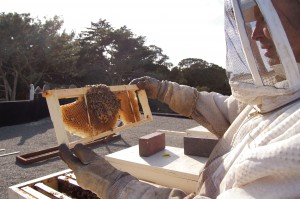 Charlie Blevins inspects the comb of his rooftop hives. Photo by Courtney Quirin.