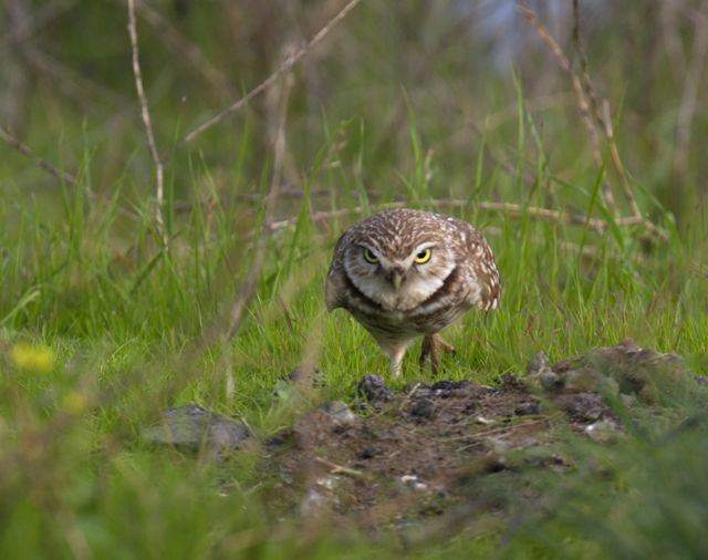You counting me? A burrowing owl in the Berkeley Marina was spotted during the East Bay's Christmas Bird Count. Photo by Rick Lewis.