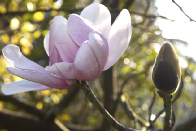 Blooming magnolias at the San Francisco Botanical Garden. Photo: Alison Hawkes.