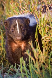 Striped skunk. Photo by Hank Christensen