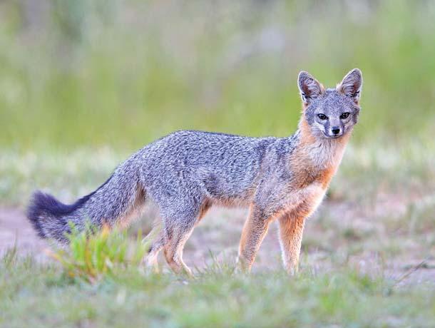 Gray fox. Photo by Randall Finley