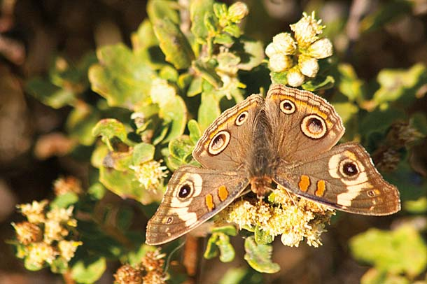 Buckeye butterfly, photo by Jocelyn Knight
