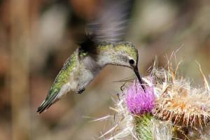 Anna's hummingbird, a Bay Area native, and a bull thistle at Bodega Head State Park. Photo: David Hoffman.