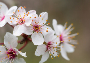 Cherry blossoms at Sibley Volcanic Regional Preserve, Orinda. Photo: Tony Iwane.