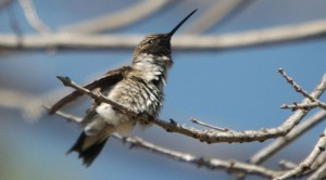 Black-chinned hummingbird, a Bay Area native. Photo: Clinton & Charles Robertson