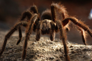 Tarantula. Photo: Matt Knoth.