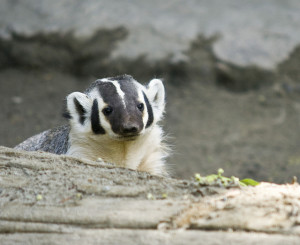 American badger. Photo: Canopic/Flickr.