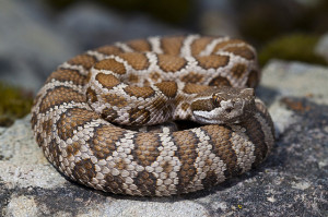 Northern Pacific rattlesnake. Photo: Natalie McNear.