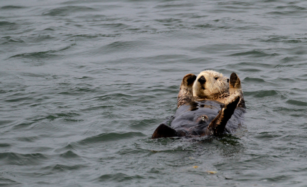 Southern Sea Otters were nearly hunted to extinction by the fur trade during the 19th and early 20th centuries. Since being listed in 1977,  the southern sea otters' numbers have increased from 1,789 to 2,700. Photo: Blake Matheson.