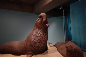 Elephant Seals, Cordell Bank Gallery