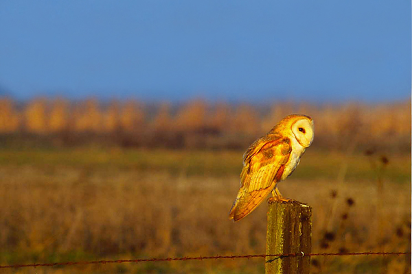 barn owl perched on a field post