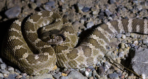 Northern Pacific Rattlesnake in Livermore area. Photo: Tony P. Iwane.