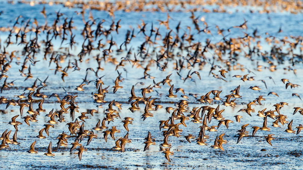 Western sandpipers congregate in the San Francisco Bay during migration. Photo: Byron Chin.