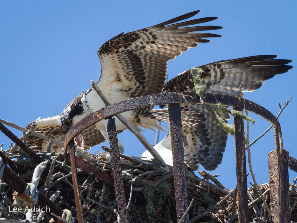 The newly arrived fledgling – hungry from its flight – begins feasting. Photo: Lee Aurich.