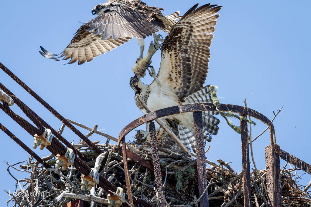 The second fledgling decides to cut in, grabbing the fish from its sibling and taking off. Photo: Lee Aurich.