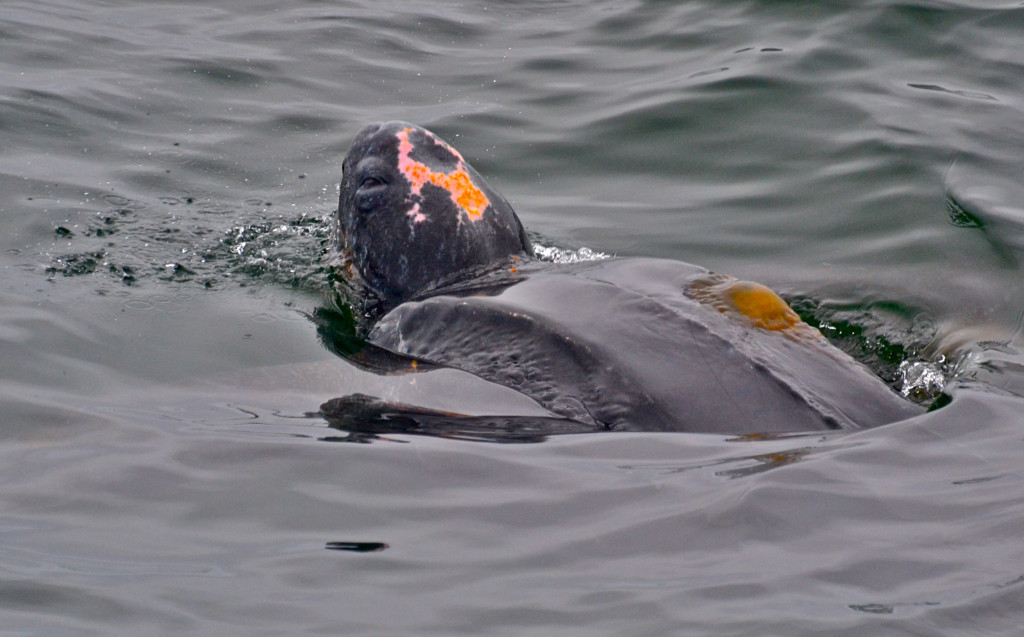 This leatherback was sighted July 14, 2012 offshore of Moss Landing, California feeding on brown sea nettle jellyfish that were so abundant one is actually stranded on the leatherback's carapace in this photo taken by Blue Ocean Whale Watch.