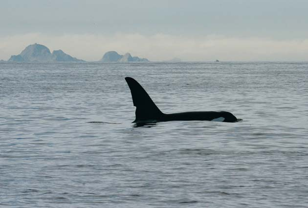 orca at Farallon Islands