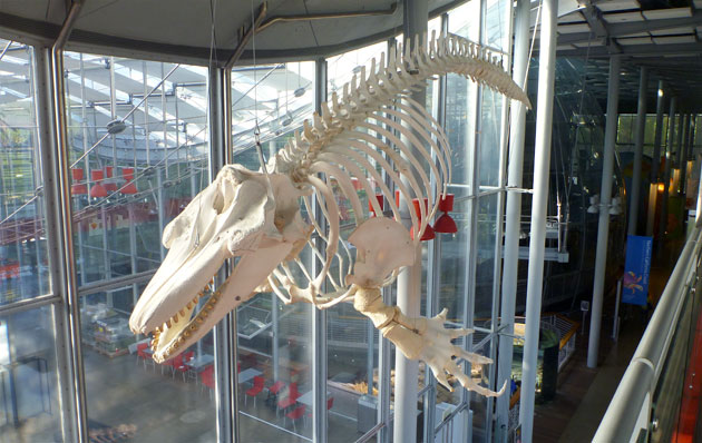 hanging orca skeleton