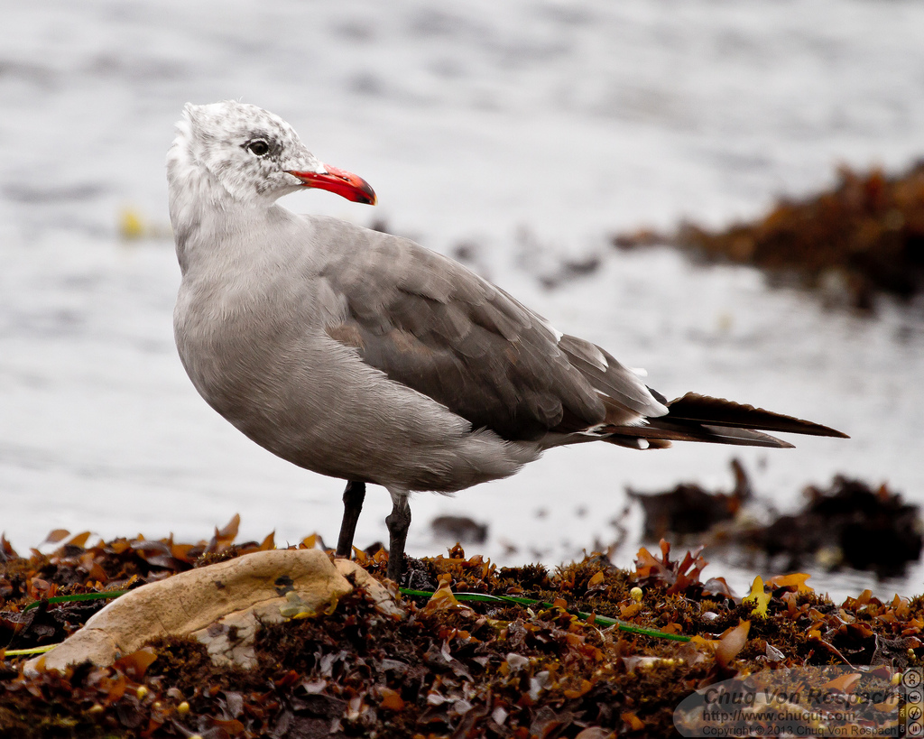 An adult Heermann's gull with a distinctive orange beak and white hood. Photo: Chuq von Rospach.