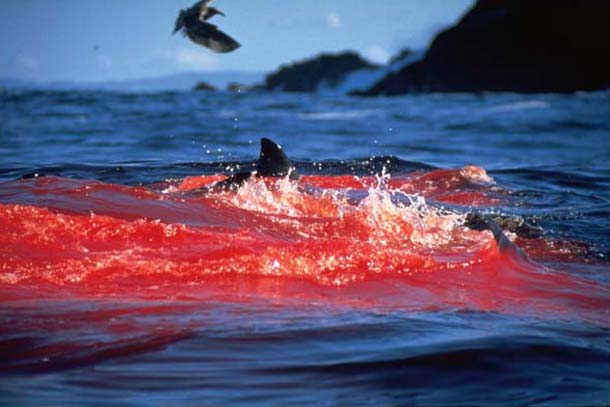 White Shark Attacks Seal
