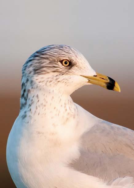 Ring-billed gull at sunset
