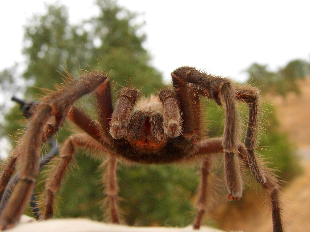 Tarantula.Creative Commons photo by CalWest.