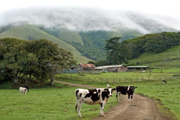 Cows on Gallagher Ranch near Point Reyes Station, beneath fog- shrouded Black Mountain.© Kathleen Goodwin, kathleengoodwin.net.