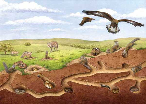 A keystone species for the state's grasslands, the California ground squirrel provides food and shelter to numerous other species. Golden eagles, coyotes, and rattlesnakes depend on squirrels for food, while rare amphibians like the California tiger salamander spend most of their lives in the squirrels' burrows.Illustration by Tim Gunther.