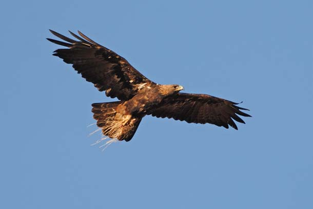 A golden eagle flies over Brushy Peak Regional Preserve near Livermore. The bird carries a small mammal, likely a ground squirrel, and the clump of grass that came with it.Photo by Kevin Nibur.