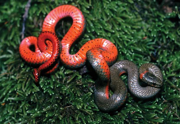 Small ring-necked snakes like this one are incredibly common, up to 1,200 in just a couple of acres. But you,ll rarely see them: They spend their days hidden under logs and other debris. If you do find one, it may show its red underbelly as a defense mechanism.Photo by Robert Clay.