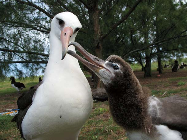 On Kure Atoll, an adult Laysan albatross feeds its chick. Too often, adults bring bits of floating plastic back for their young to eat.Photo by Cynthia Vanderlip.