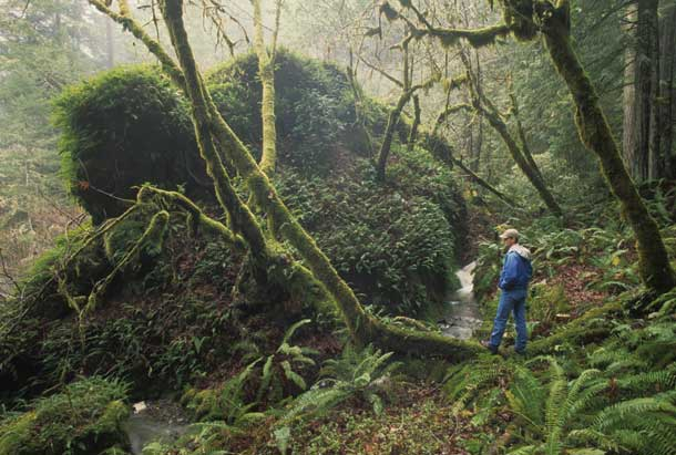 The Willow Creek acquisition, at over 30,000 acres, was the largest-ever public conservation purchase in Sonoma County. It has protected a wide range of habitats, including damp, dense forests full of ferns and other understory plants.Photo by Phil Schermeister.