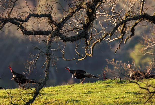 Wild turkeys roam through the mixed grasslands and woodlands of Sunol Regional Wilderness, south of Pleasanton.Photo by Kevin Nibur.