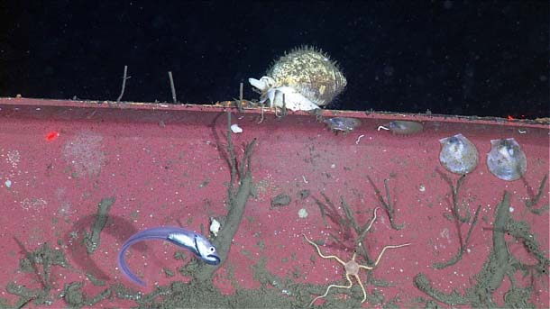 Deep-sea snail on a shipping container.Photo NOAA/MBARI.