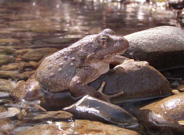 A foothill yellow-legged frog in Alameda Creek.Photo courtesy Sarah Kupferberg.