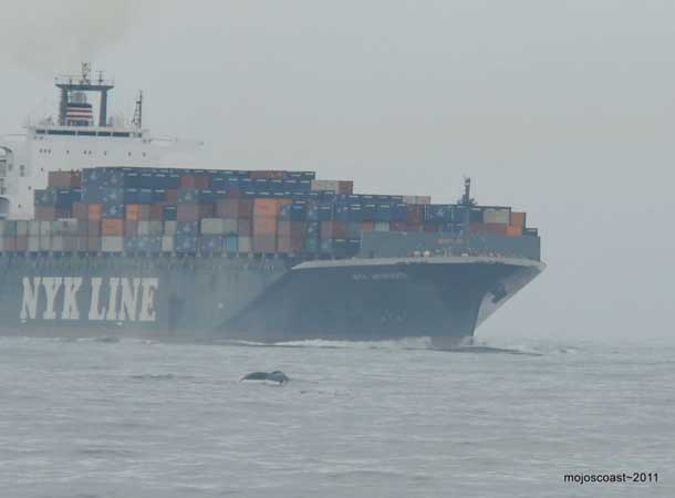 A humpback whale passes in front of a container ship off the Golden Gate.Photo courtesy mojoscoastphotography.com.