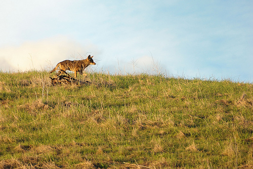 Coyote image by Don DeBold
