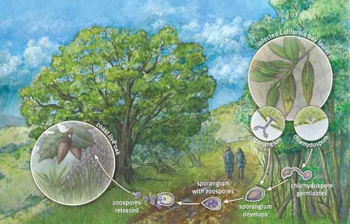 SOD life cycle illustration