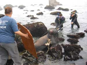 Rescuing an injured sea lion