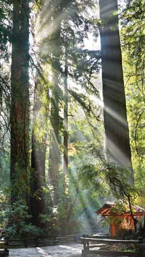 Sunlight Through Redwoods
