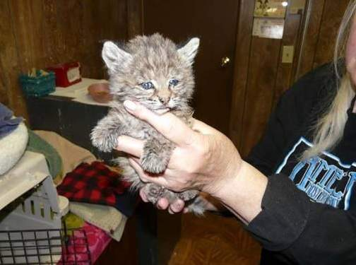 The bobcat kitten has been named Chips, after the Chips Fire that's ravaged 73,000 acres in Plumas and Lassen national forests. Photo by U.S. Forest Service.