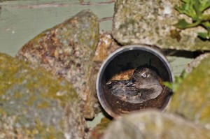 Cassin's auklet adult inside nest box