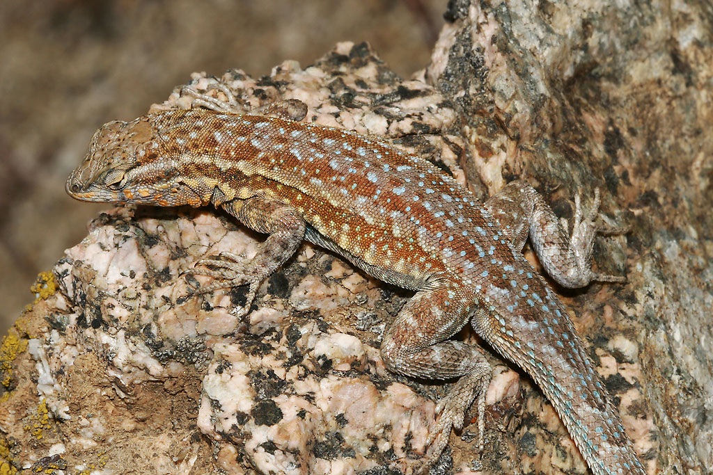 A side-blotched lizard doesn't normally appear on the west side of the San Francisco Bay but has popped up at Mount Umunhum. Photo by Bill Bouton/Flickr.