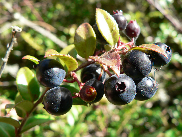California huckleberries. Photo by OutdoorPDK/Flickr.