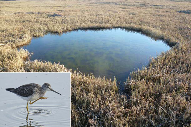 Tidal marsh panne with greater yellowlegs